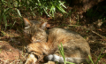 Africký prasečí mor – pro člověka není zatím nebezpečný, pro prasata smrtelný