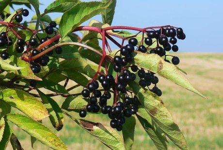 Bez černý – dokáže vyléčit mnoho nemocí a připravíte z něj i mnoho dobrot