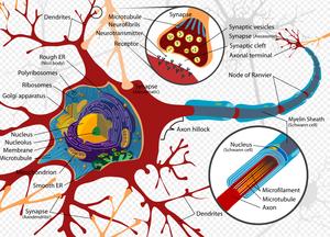 Neurogeneze (tvorba nových neuronů) v dospělosti – je možná? Nebo je možná jen v embryonálním vývoji?