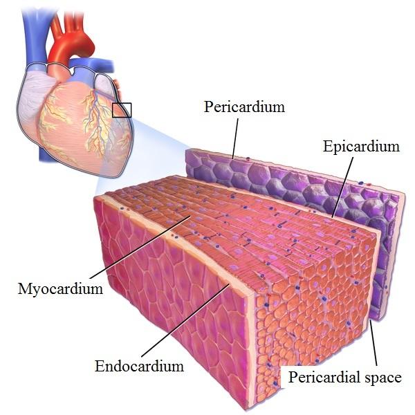 Kardiomyopatie (onemocnění srdečního svalu) – příznaky, příčiny a léčba