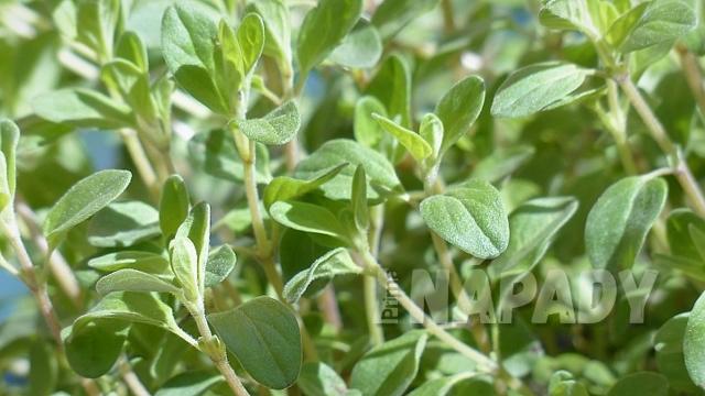 Majoránkový čaj a jeho účinky a vliv na zdraví