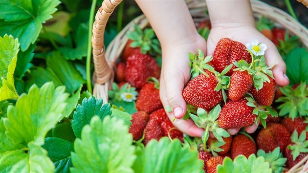 Jahodové listy a jejich účinky na zdraví – na co jsou dobré?