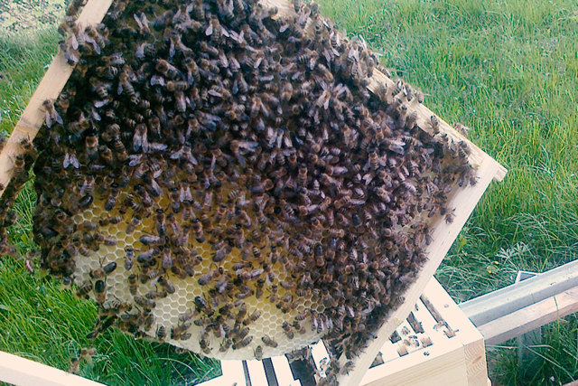 Rouskovaný pyl nejlépe využijeme naložený do medu