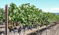 Kvevri víno: na podzim se zakope, na jaře si pochutnáte