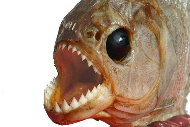 Falšovaný pangas: Kam zmizela půlka ryby?