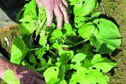 Nenáročná na pěstování azpracování: Černá ředkev je dobrá syrová ipečená