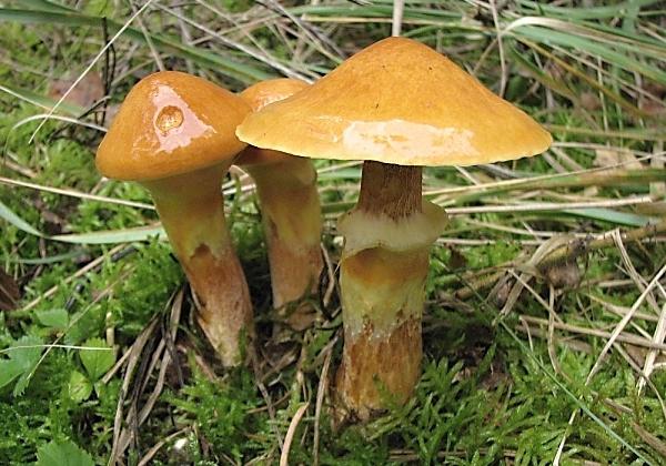 Slizké, ale chutné. Nejklouzavější houby