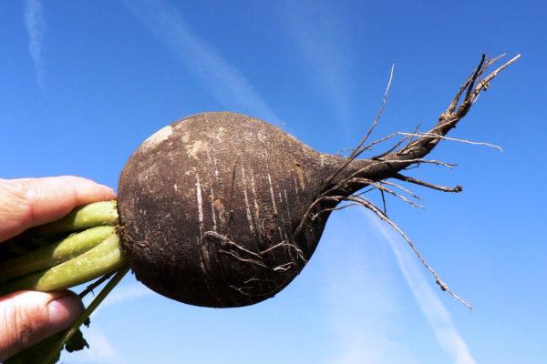 Jak skladovat brambory, aby nevyklíčily