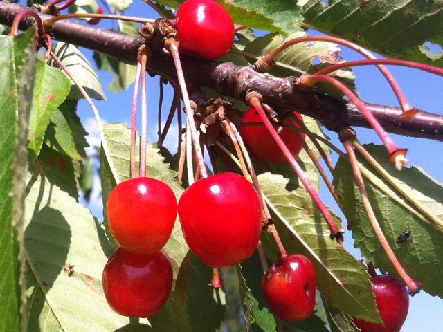Proč máme jíst hlavně české třešně a višně?