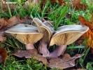 Pýchavka a hnojník jsou houby pro zdraví