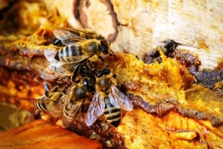 Pampeliškový med není med