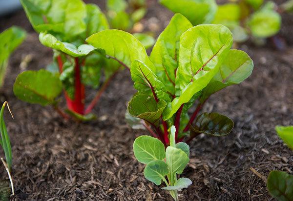 Málo známá zelenina– mangold