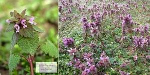 Listy hluchavky se hodí do nádivky a květy na čaj