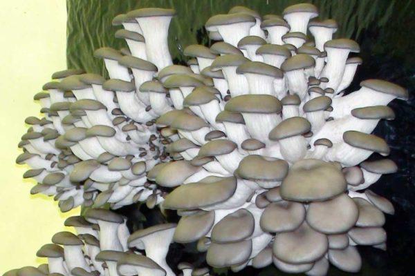 Shiitake: Houževnatec je jedlá houba sléčivými účinky