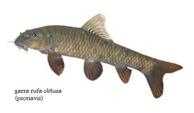 Procedury s rybičkami Garra rufa jsou hit, odborníci jim ale nefandí