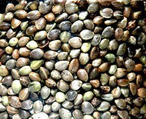Potraviny pro třetí tisíciletí: Konopné semínko
