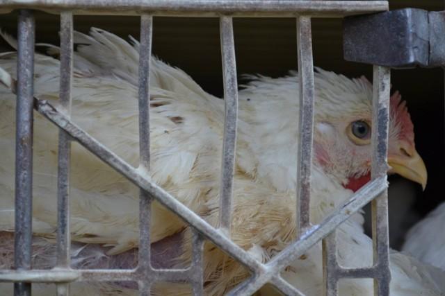 Pozor: kuřata z Německa ohrožují život