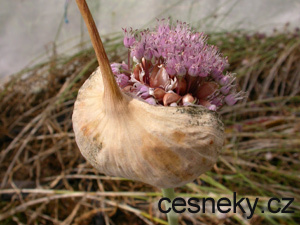 Za český česnek se unás vydává česnek ze Španělska