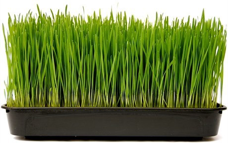 Kamut pšenice nejenom chutná jinak