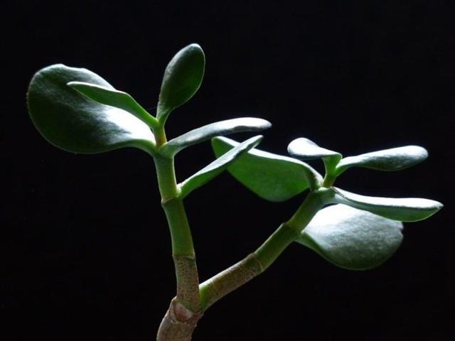 Aloe vera: kosmetika zvašeho květináče