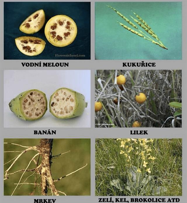 Proti geneticky modifikovaným potravinám