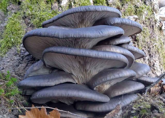 Léčivé houby: Čaga, hlíva ústřičná, Jidášovo ucho, houževnatec jedlý