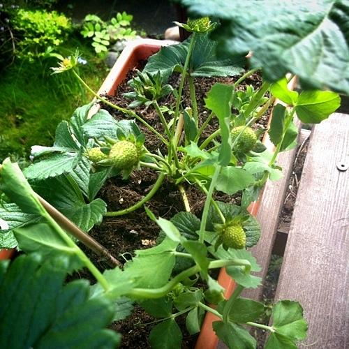 Návod, jak vypěstovat nejdražší rajče na planetě