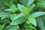 Mátový čaj a jeho účinky – na co se dá použít?