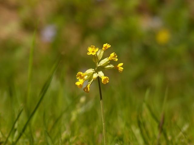 Prvosenka jarní (neboli Petrklíč) a její účinky na zdraví a krásu