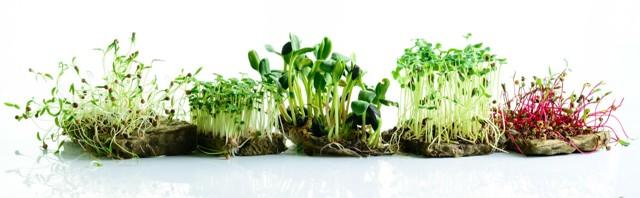 Klíčky, naklíčená semena, výhonky a zdraví – plné zdravých enzymů