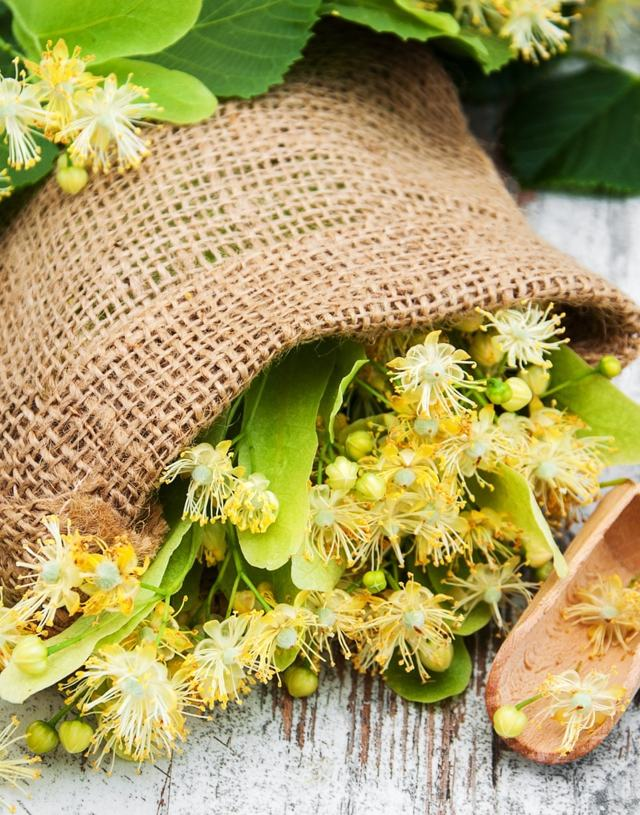Lípa a lipový květ prospívají zdraví – na nachlazení i žaludeční křeče
