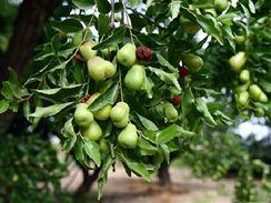 Jujube neboli Cicimek datlový a zdraví – na co je toto ovoce dobré?