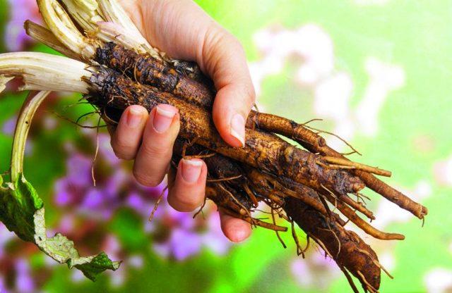 Lopuchová voda či lopuchový kořen – na co jsou dobré a jaké mají účinky?