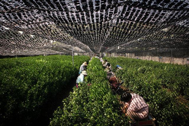 Čaj Matcha a zdraví – udělejte si nezapomenutelný rituál s čajem matcha