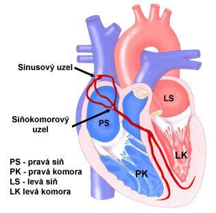 Léčba bradykardie (porucha srdečního rytmu) přírodními recepty