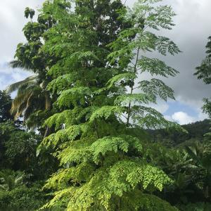 Moringa – strom života – nejléčivější na světě