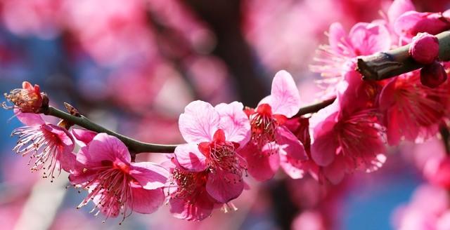 Švestky umeboshi – japonský zázrak pro naše zdraví
