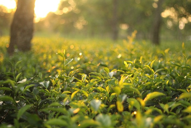 Druhy čajů a jejich vliv na naše zdraví