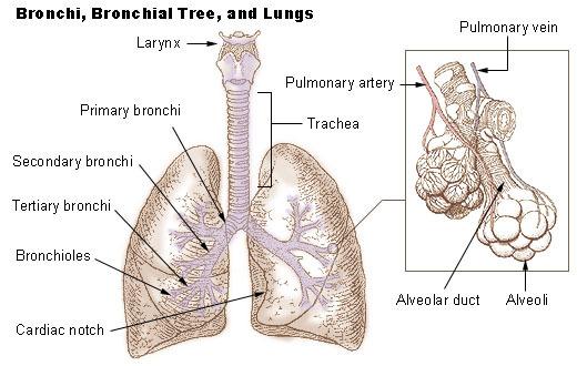 Bránice – jeden z nejdůležitějších svalů – jak na brániční dýchání?