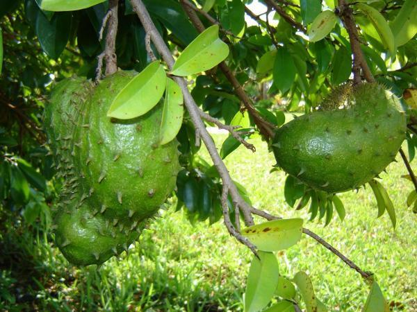 Graviola: Účinný přírodní pomocník pro lepší zdraví