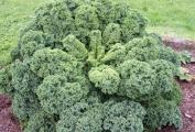 Kadeřavá kapusta (kadeřávek) je superpotravinou? Zjistěte proč je tak zdravá.
