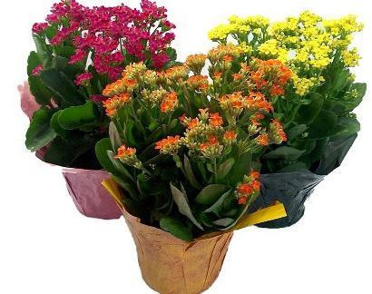 Kalanchoe (Kolopejka) a zdraví – jaké má tato bylinka léčivé vlastnosti?