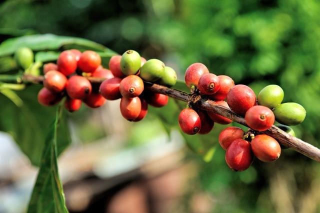 Zelená káva: Super na hubnutí i detoxikaci